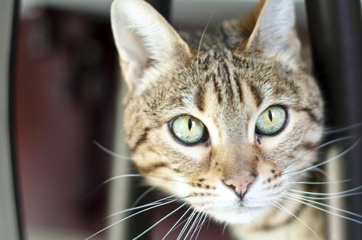 aries-bengal-cat