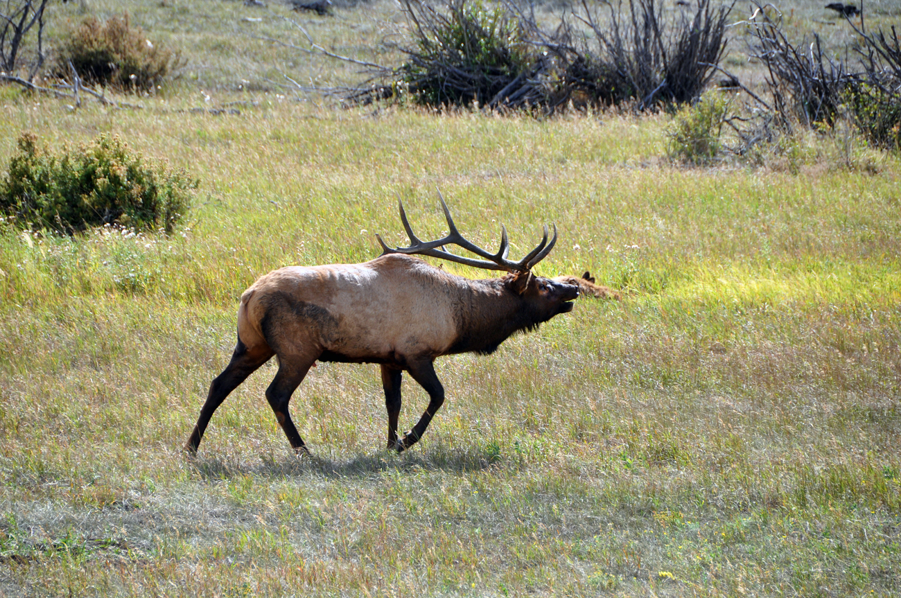rocky-mountain-national-park-elk-2